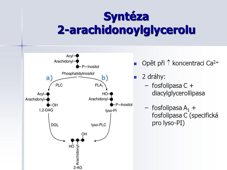 Syntéza 2-arachidonoylglycerolu Opět při  koncentraci Ca 2+ Opět při  koncentraci Ca 2+ 2 dráhy: 2 dráhy: –fosfolipasa C + diacylglycerollipasa –fos