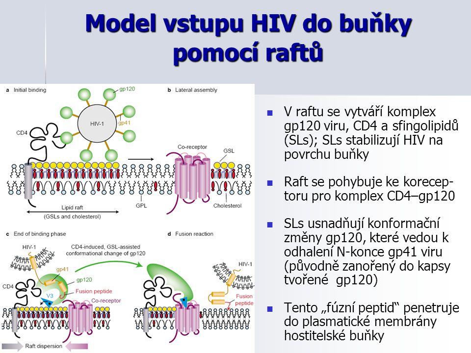 Model vstupu HIV do buňky pomocí raftů V raftu se vytváří komplex gp120 viru, CD4 a sfingolipidů (SLs); SLs stabilizují HIV na povrchu buňky V raftu s