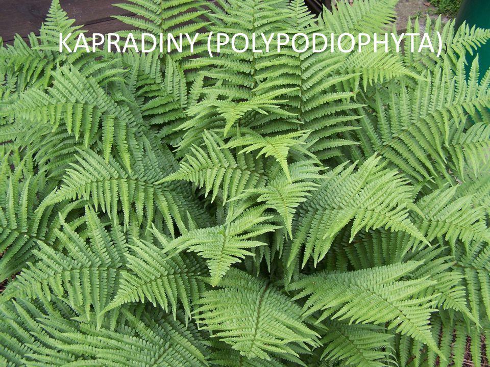 KAPRADINY (POLYPODIOPHYTA) )