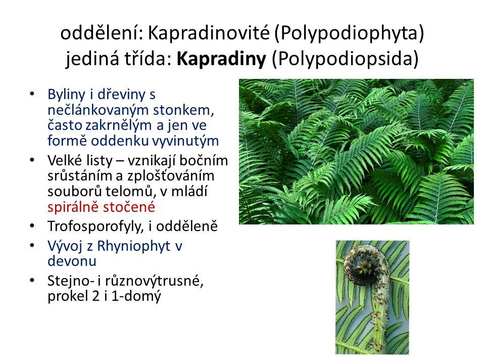 oddělení: Kapradinovité (Polypodiophyta) jediná třída: Kapradiny (Polypodiopsida) Byliny i dřeviny s nečlánkovaným stonkem, často zakrnělým a jen ve formě oddenku vyvinutým Velké listy – vznikají bočním srůstáním a zplošťováním souborů telomů, v mládí spirálně stočené Trofosporofyly, i odděleně Vývoj z Rhyniophyt v devonu Stejno- i různovýtrusné, prokel 2 i 1-domý