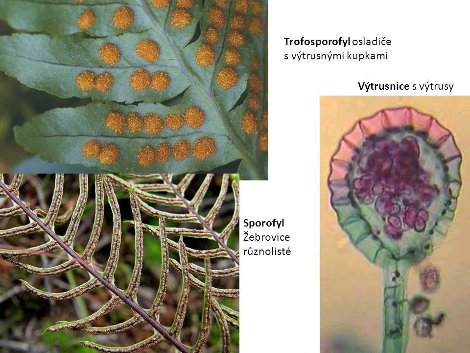 Trofosporofyl osladiče s výtrusnými kupkami Výtrusnice s výtrusy Sporofyl Žebrovice různolisté