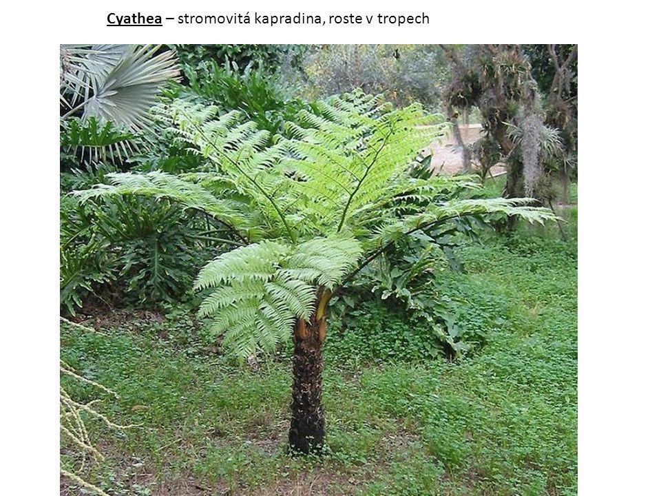 Cyathea – stromovitá kapradina, roste v tropech