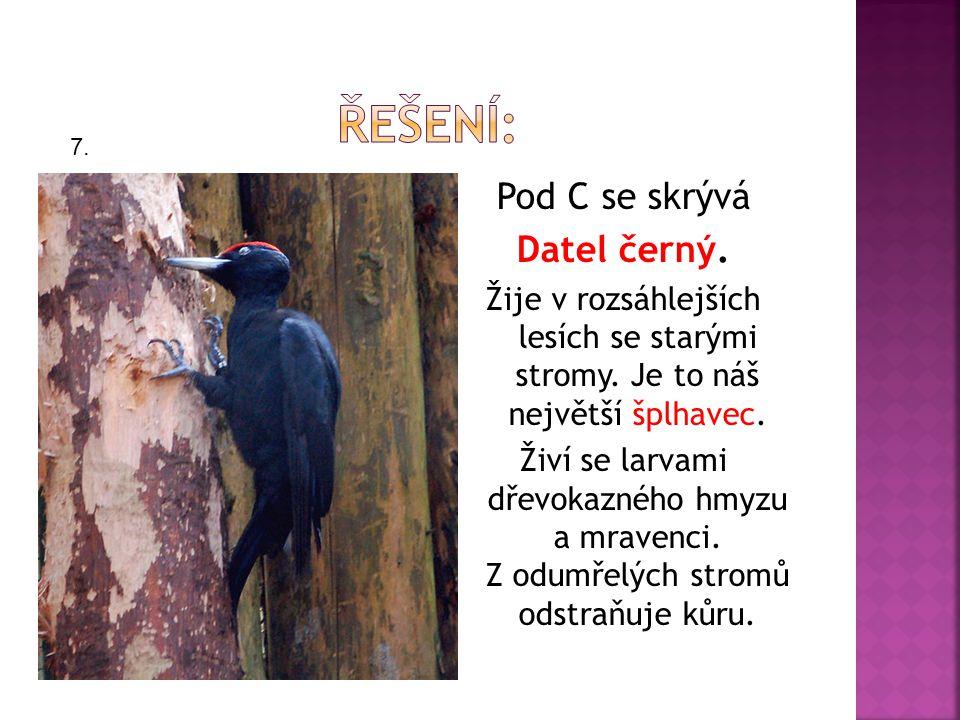 Pod C se skrývá Datel černý. Žije v rozsáhlejších lesích se starými stromy.