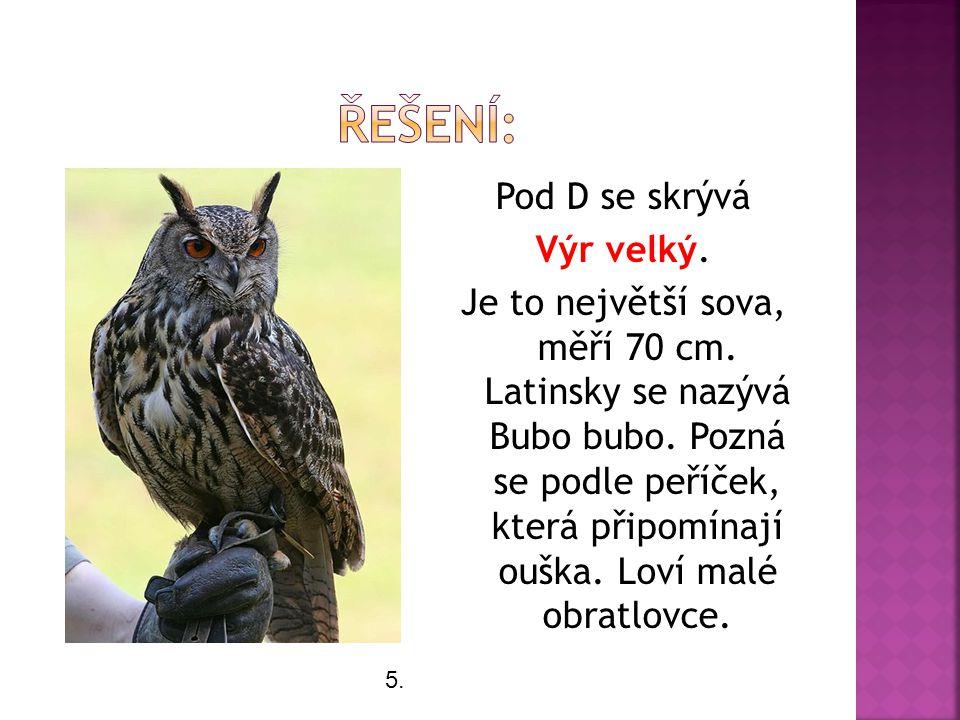 Pod D se skrývá Výr velký. Je to největší sova, měří 70 cm.
