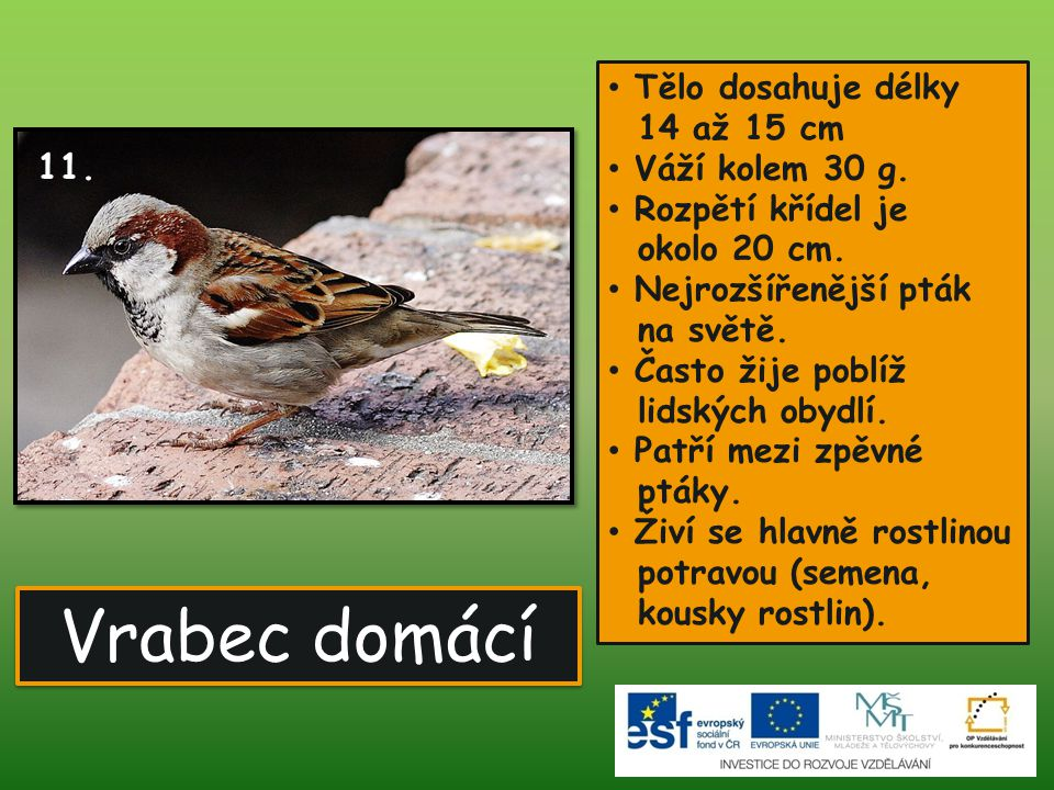 Vrabec domácí Tělo dosahuje délky 14 až 15 cm Váží kolem 30 g.