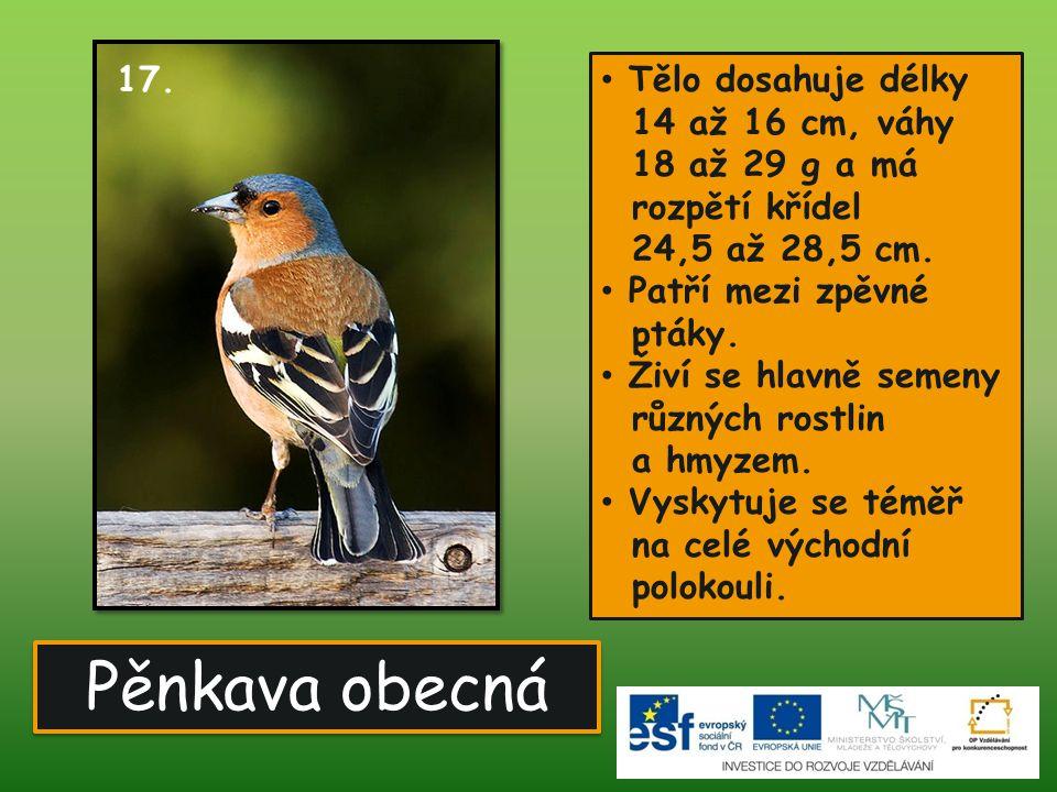 Pěnkava obecná Tělo dosahuje délky 14 až 16 cm, váhy 18 až 29 g a má rozpětí křídel 24,5 až 28,5 cm.