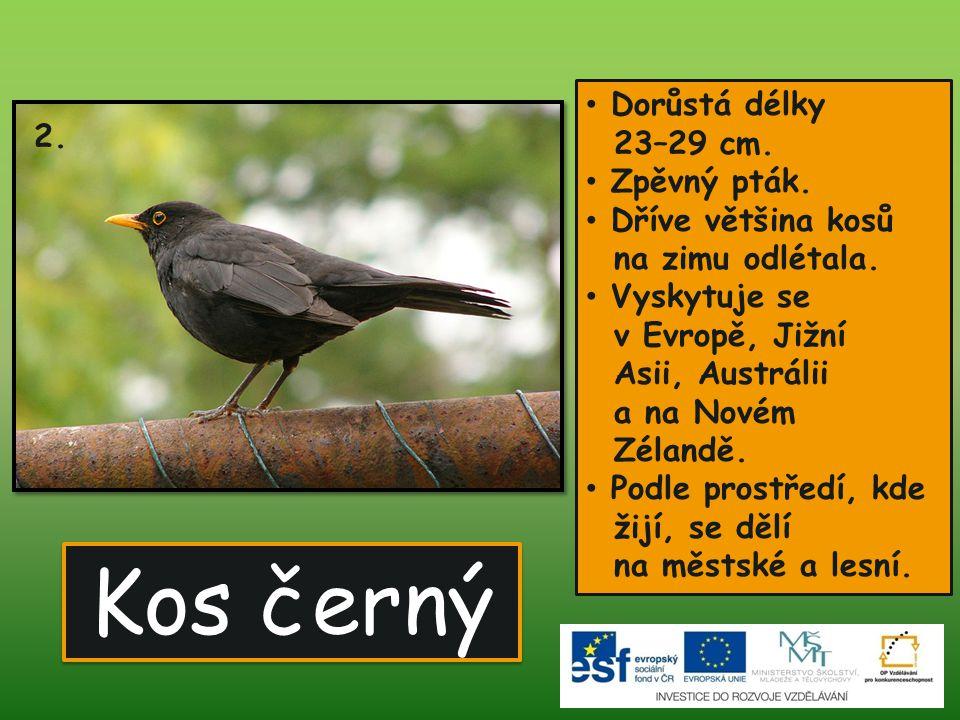 Kos černý Dorůstá délky 23–29 cm.Zpěvný pták. Dříve většina kosů na zimu odlétala.
