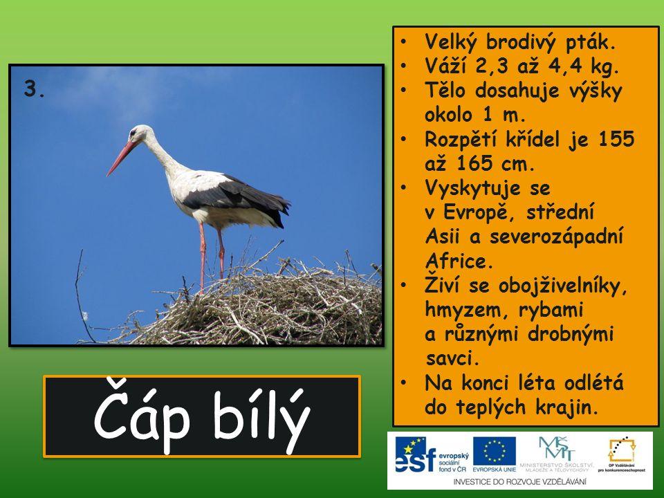 Čáp bílý Velký brodivý pták.Váží 2,3 až 4,4 kg. Tělo dosahuje výšky okolo 1 m.