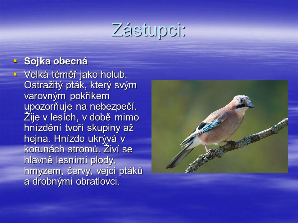 Zástupci:  Sojka obecná  Velká téměř jako holub. Ostražitý pták, který svým varovným pokřikem upozorňuje na nebezpečí. Žije v lesích, v době mimo hn