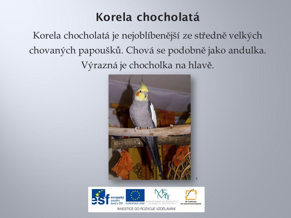 Korela chocholatá Korela chocholatá je nejoblíbenější ze středně velkých chovaných papoušků.
