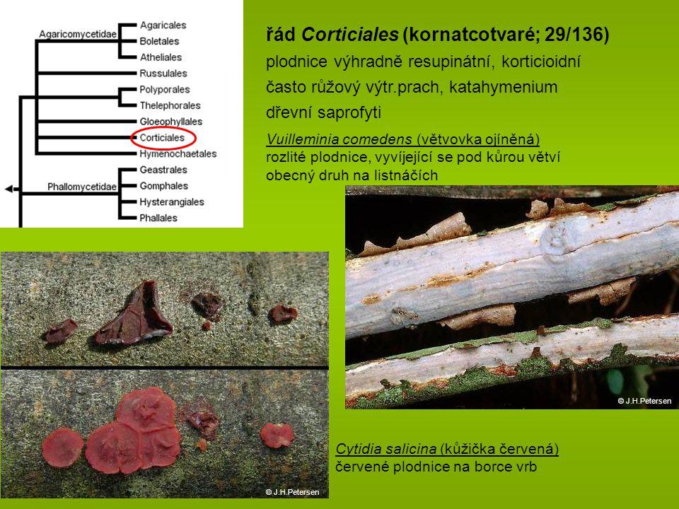 řád Corticiales (kornatcotvaré; 29/136) plodnice výhradně resupinátní, korticioidní často růžový výtr.prach, katahymenium dřevní saprofyti Vuilleminia comedens (větvovka ojíněná) rozlité plodnice, vyvíjející se pod kůrou větví obecný druh na listnáčích © J.H.Petersen Cytidia salicina (kůžička červená) červené plodnice na borce vrb © J.H.Petersen