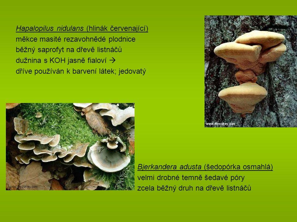 Bjerkandera adusta (šedopórka osmahlá) velmi drobné temně šedavé póry zcela běžný druh na dřevě listnáčů Hapalopilus nidulans (hlinák červenající) měkce masité rezavohnědé plodnice běžný saprofyt na dřevě listnáčů dužnina s KOH jasně fialoví  dříve používán k barvení látek; jedovatý www.mycokey.com