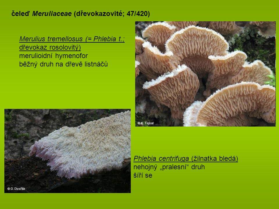 """© D. Dvořák čeleď Meruliaceae (dřevokazovité; 47/420) Phlebia centrifuga (žilnatka bledá) nehojný """"pralesní"""" druh šíří se Merulius tremellosus (= Phle"""