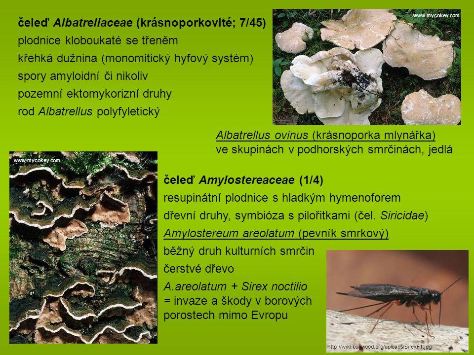 čeleď Albatrellaceae (krásnoporkovité; 7/45) plodnice kloboukaté se třeněm křehká dužnina (monomitický hyfový systém) spory amyloidní či nikoliv pozemní ektomykorizní druhy rod Albatrellus polyfyletický Albatrellus ovinus (krásnoporka mlynářka) ve skupinách v podhorských smrčinách, jedlá čeleď Amylostereaceae (1/4) resupinátní plodnice s hladkým hymenoforem dřevní druhy, symbióza s pilořitkami (čel.