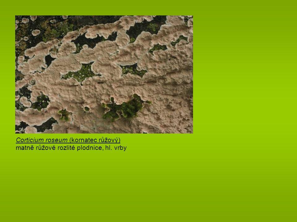Aleurodiscus amorphus (škrobnatec beztvarý) drobné terčovité kožovité oranžové plodnice obrovské amyloidní bradavčité spory na opadlých větvičkách jedlí, řidčeji smrků www.mycokey.com