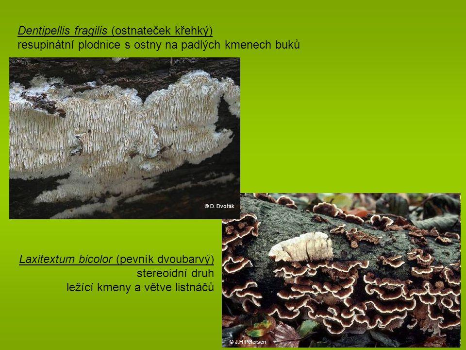 Dentipellis fragilis (ostnateček křehký) resupinátní plodnice s ostny na padlých kmenech buků © D.