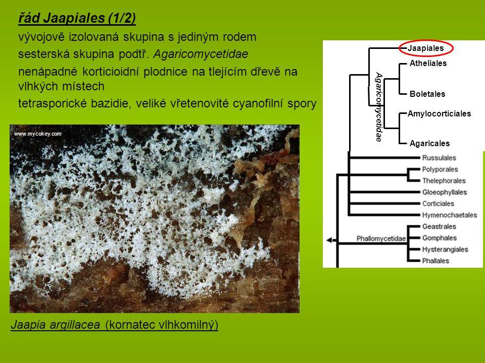 řád Jaapiales (1/2) vývojově izolovaná skupina s jediným rodem sesterská skupina podtř.