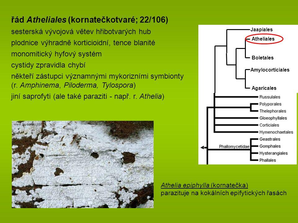 Jaapiales Agaricales Atheliales Amylocorticiales Boletales řád Atheliales (kornatečkotvaré; 22/106) sesterská vývojová větev hřibotvarých hub plodnice výhradně korticioidní, tence blanité monomitický hyfový systém cystidy zpravidla chybí někteří zástupci významnými mykorizními symbionty (r.