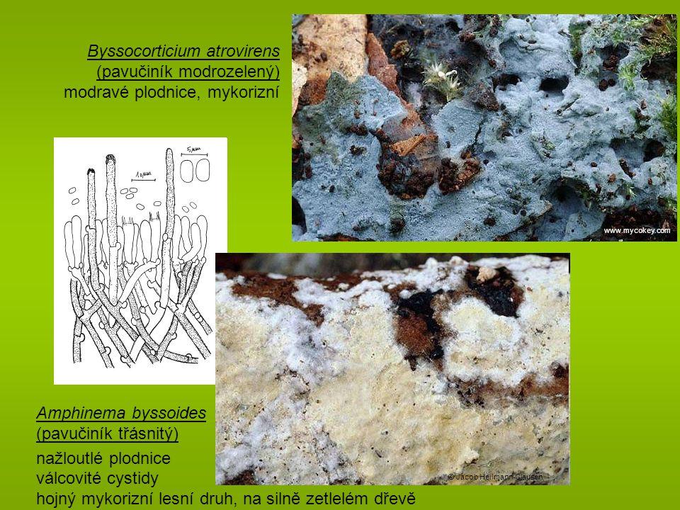 Byssocorticium atrovirens (pavučiník modrozelený) modravé plodnice, mykorizní www.mycokey.com Amphinema byssoides (pavučiník třásnitý) nažloutlé plodnice válcovité cystidy hojný mykorizní lesní druh, na silně zetlelém dřevě © Jacob Heilmann-Clausen