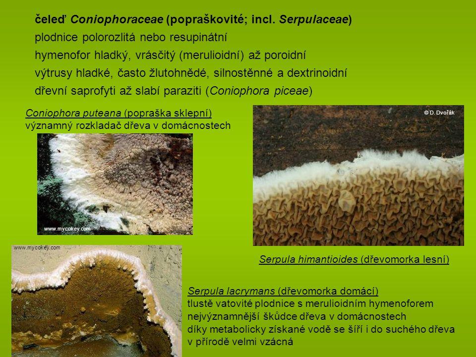 Serpula lacrymans (dřevomorka domácí) tlustě vatovité plodnice s merulioidním hymenoforem nejvýznamnější škůdce dřeva v domácnostech díky metabolicky získané vodě se šíří i do suchého dřeva v přírodě velmi vzácná čeleď Coniophoraceae (popraškovité; incl.