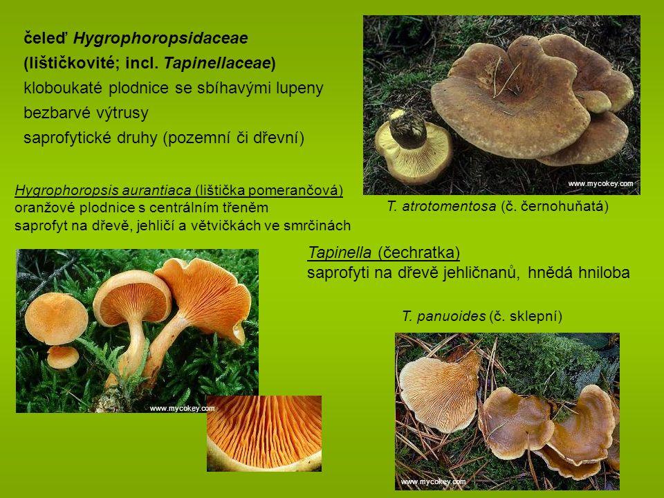 Hygrophoropsis aurantiaca (lištička pomerančová) oranžové plodnice s centrálním třeněm saprofyt na dřevě, jehličí a větvičkách ve smrčinách T.