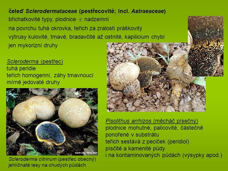 Scleroderma citrinum (pestřec obecný) jehličnaté lesy na chudých půdách čeleď Sclerodermataceae (pestřecovité; incl.
