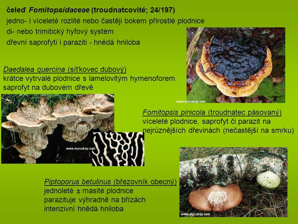 čeleď Fomitopsidaceae (troudnatcovité; 24/197) jedno- i víceleté rozlité nebo častěji bokem přirostlé plodnice di- nebo trimitický hyfový systém dřevní saprofyti i paraziti - hnědá hniloba Daedalea quercina (síťkovec dubový) krátce vytrvalé plodnice s lamelovitým hymenoforem saprofyt na dubovém dřevě Fomitopsis pinicola (troudnatec pásovaný) víceleté plodnice, saprofyt či parazit na nejrůznějších dřevinách (nečastější na smrku) Piptoporus betulinus (březovník obecný) jednoleté ± masité plodnice parazituje výhradně na břízách intenzivní hnědá hniloba www.mycokey.com