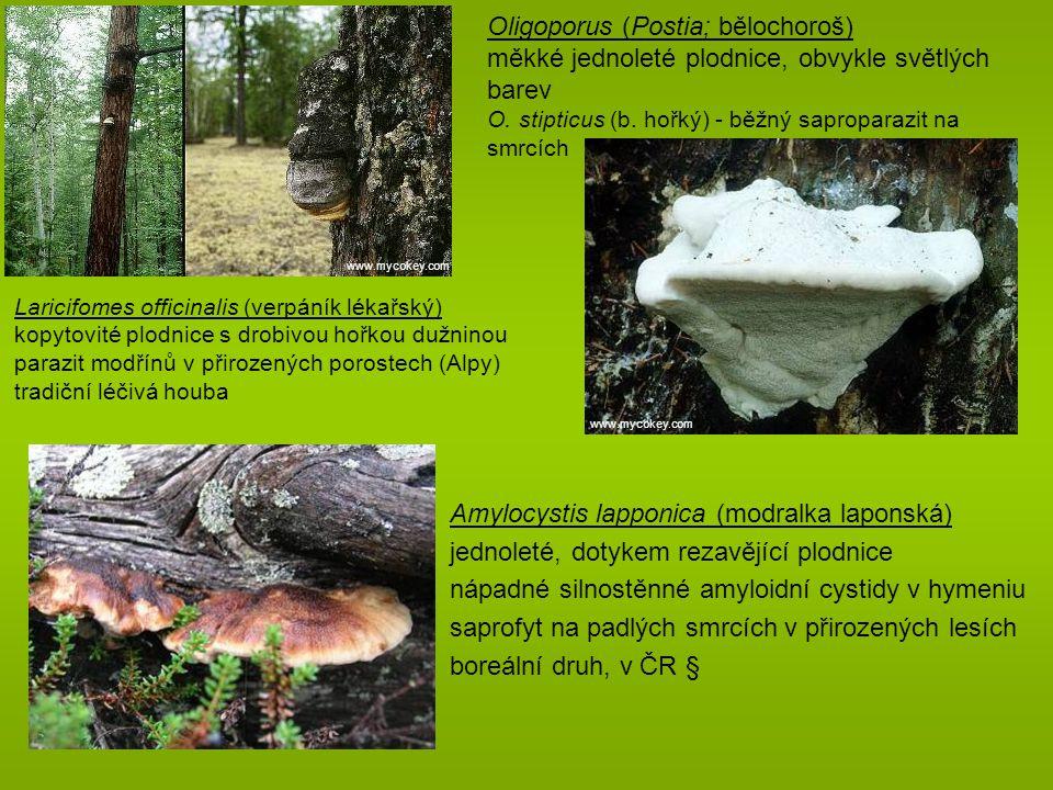 čeleď Bondarzewiaceae (bondarcevkovité; 8/48) plodnice jednoleté, bokem přirostlé či resupinátní dimitický hyfový systém, hymenofor poroidní, vz.