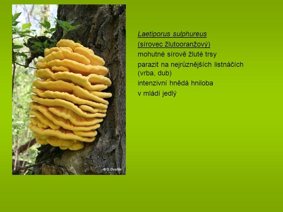 Laetiporus sulphureus (sírovec žlutooranžový) mohutné sírově žluté trsy parazit na nejrůznějších listnáčích (vrba, dub) intenzivní hnědá hniloba v mládí jedlý © D.