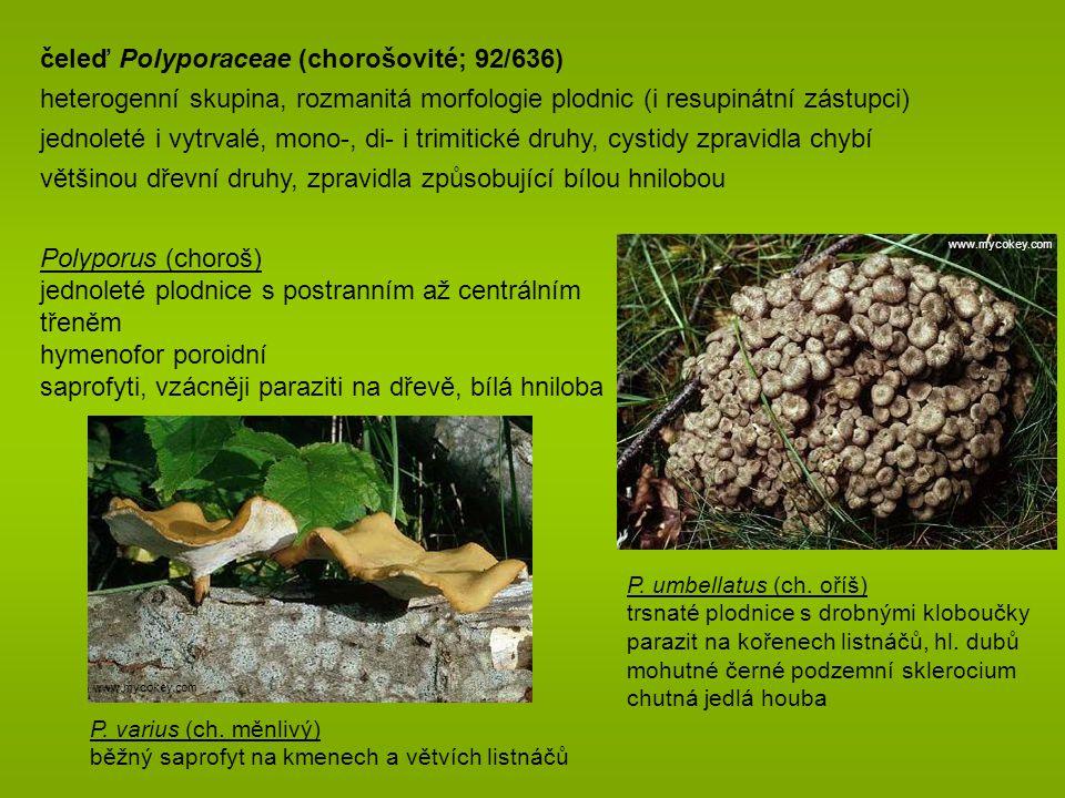 čeleď Auriscalpiaceae (lžičkovcovité; 6/38) plodnice jednoleté, rozlité, bokem přisedlé, stipitátní či ramarioidní tuhá dužnina, hymenofor ostnitý, lupenitý i hladký někdy dimitický hyfový systém gloeoplerní hyfy přítomny výtrusy bradavčité, amyloidní dřevní, vzácněji pozemní saprofyti Lentinellus (houžovec) hnědé kloboukaté plodnice lupeny se zubatým ostřím L.