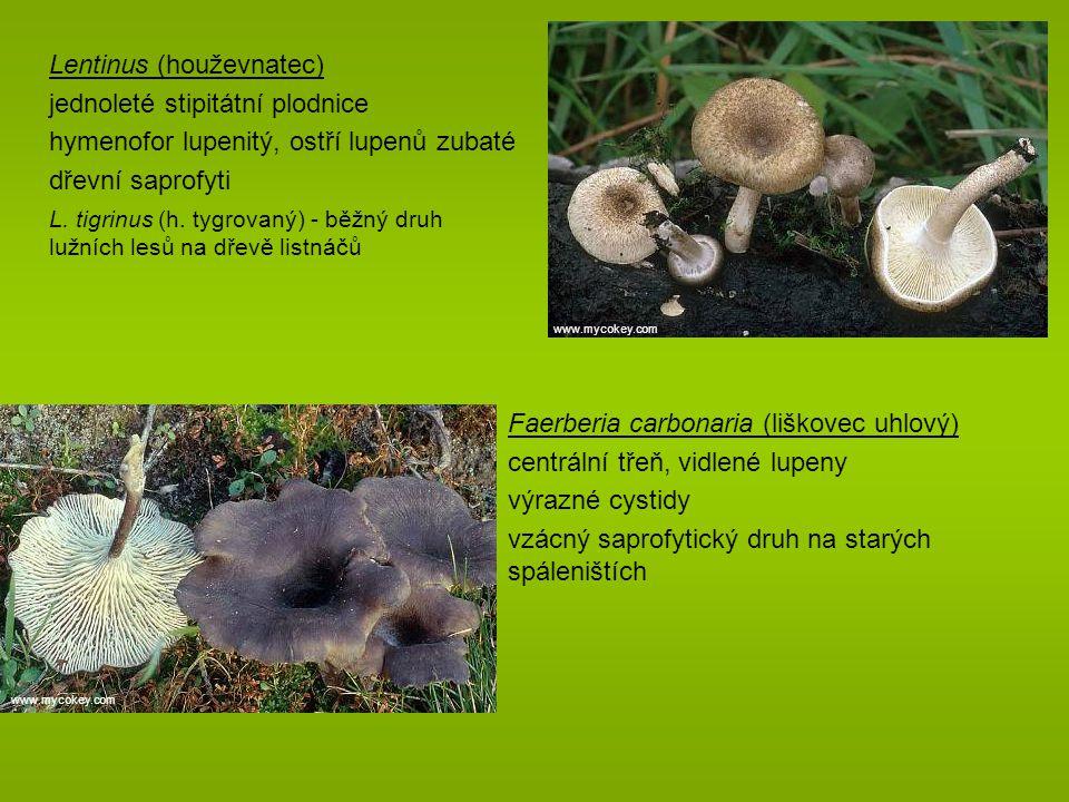 Lentinus (houževnatec) jednoleté stipitátní plodnice hymenofor lupenitý, ostří lupenů zubaté dřevní saprofyti L.