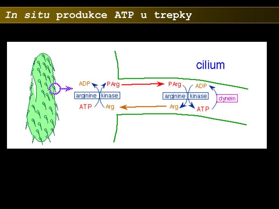 In situ produkce ATP u trepky