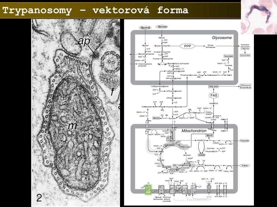 Trypanosomy – vektorová forma