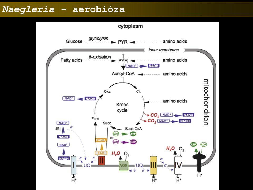 Naegleria – aerobióza