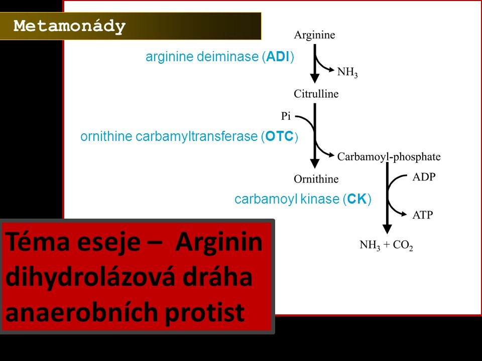 arginine deiminase (ADI) ornithine carbamyltransferase (OTC ) carbamoyl kinase (CK) Téma eseje – Arginin dihydrolázová dráha anaerobních protist Metam