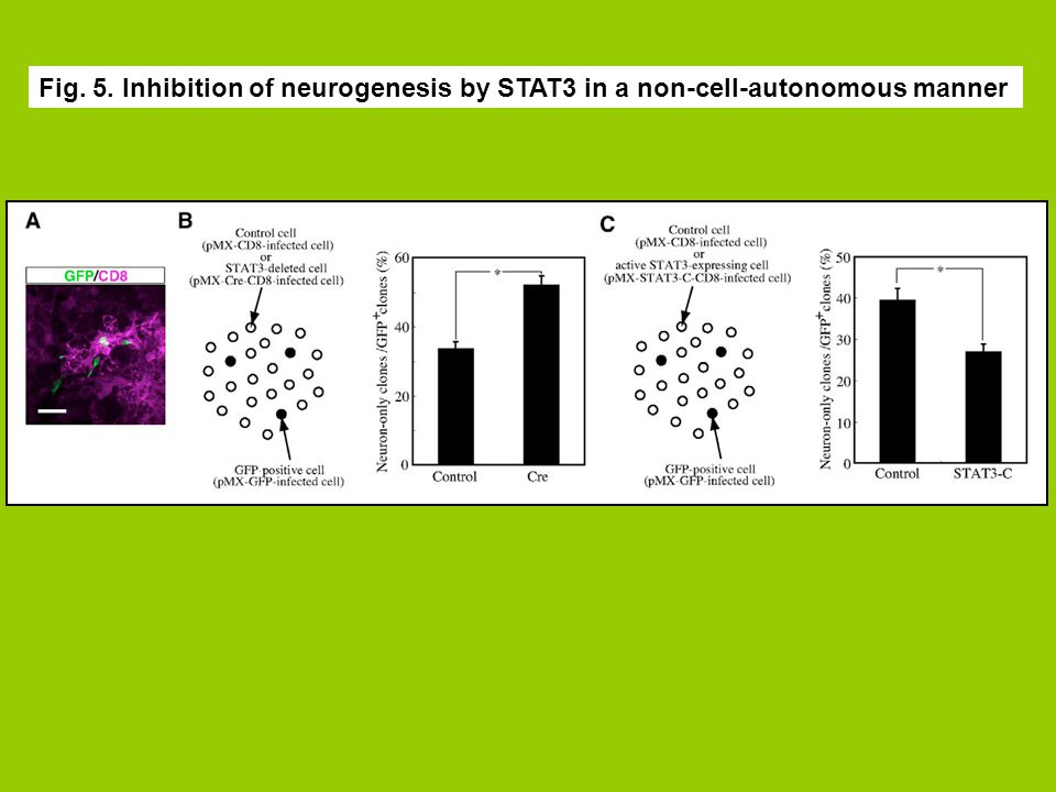 Fig. 5. Inhibition of neurogenesis by STAT3 in a non-cell-autonomous manner