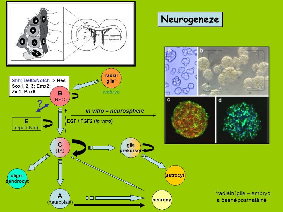 Neurogeneze C (TA) A (neuroblast) E (ependym) .