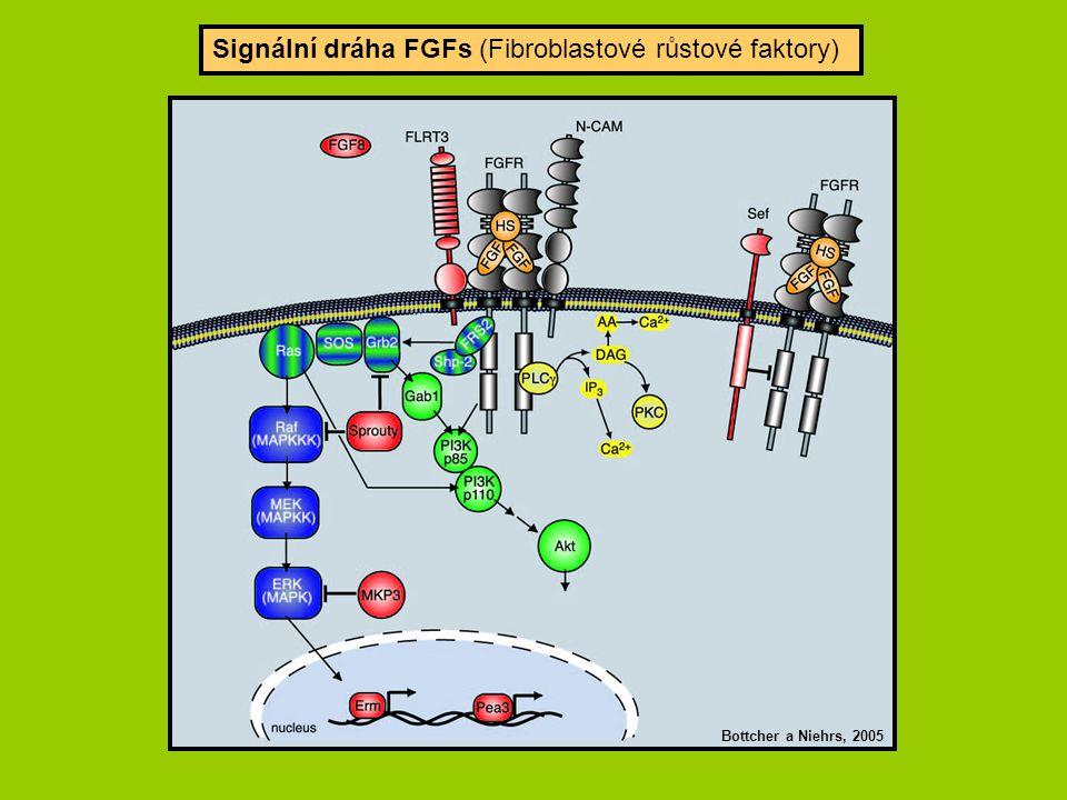 Fig. 3. Requirement of STAT3 for maintenance of FGF2-sensitive NPC
