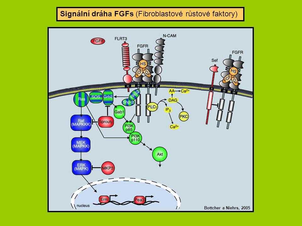 Signální dráha FGFs (Fibroblastové růstové faktory) Bottcher a Niehrs, 2005
