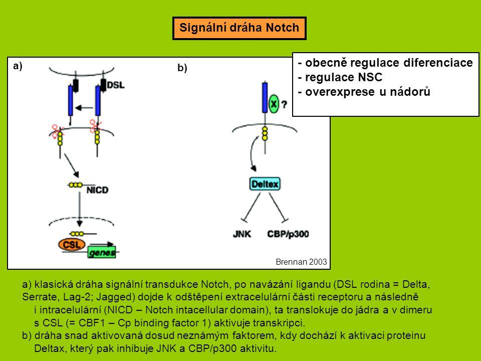 Signální dráha Notch a) b) a) klasická dráha signální transdukce Notch, po navázání ligandu (DSL rodina = Delta, Serrate, Lag-2; Jagged) dojde k odštěpení extracelulární části receptoru a následně i intracelulární (NICD – Notch intacellular domain), ta translokuje do jádra a v dimeru s CSL (= CBF1 – Cp binding factor 1) aktivuje transkripci.