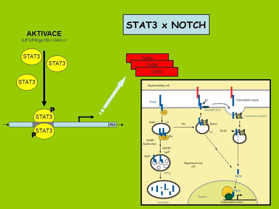 STAT3 DNA STAT3 P P AKTIVACE (LIF/LIFR/gp130->JAK2->) Delta STAT3 x NOTCH