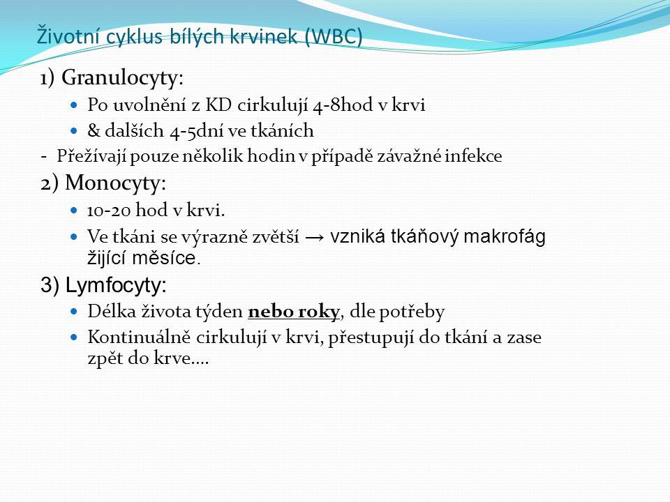 Životní cyklus bílých krvinek (WBC) 1) Granulocyty: Po uvolnění z KD cirkulují 4-8hod v krvi & dalších 4-5dní ve tkáních - Přežívají pouze několik hodin v případě závažné infekce 2) Monocyty: 10-20 hod v krvi.
