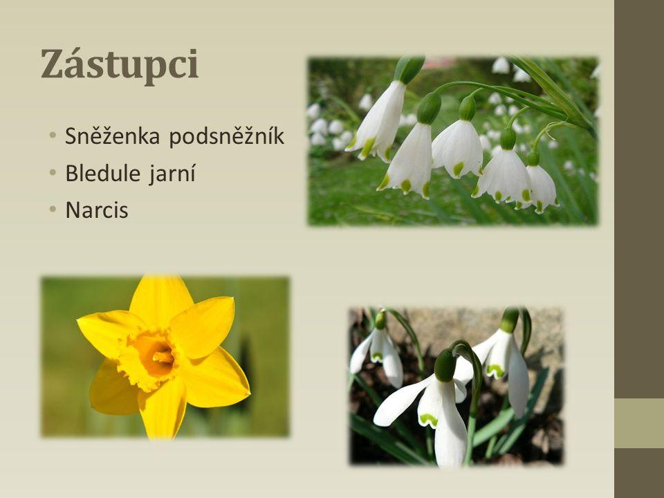 Zástupci Sněženka podsněžník Bledule jarní Narcis
