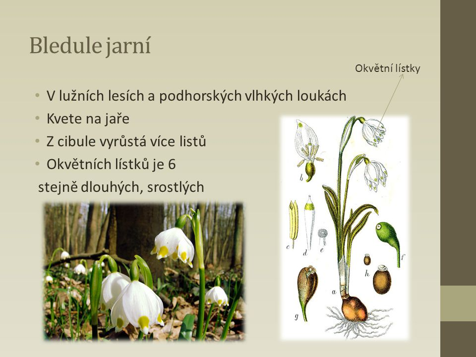 Bledule jarní V lužních lesích a podhorských vlhkých loukách Kvete na jaře Z cibule vyrůstá více listů Okvětních lístků je 6 stejně dlouhých, srostlýc