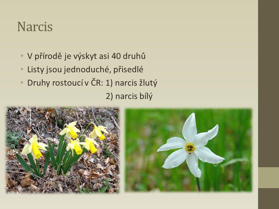 Narcis V přírodě je výskyt asi 40 druhů Listy jsou jednoduché, přisedlé Druhy rostoucí v ČR: 1) narcis žlutý 2) narcis bílý
