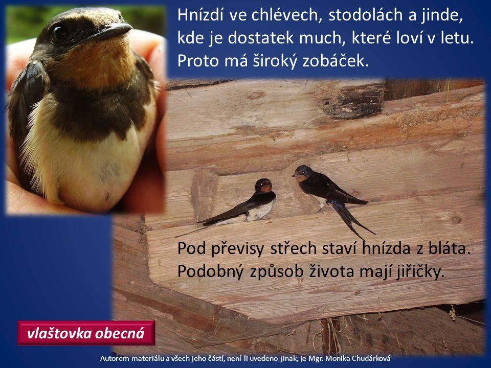 Hnízdí ve chlévech, stodolách a jinde, kde je dostatek much, které loví v letu.