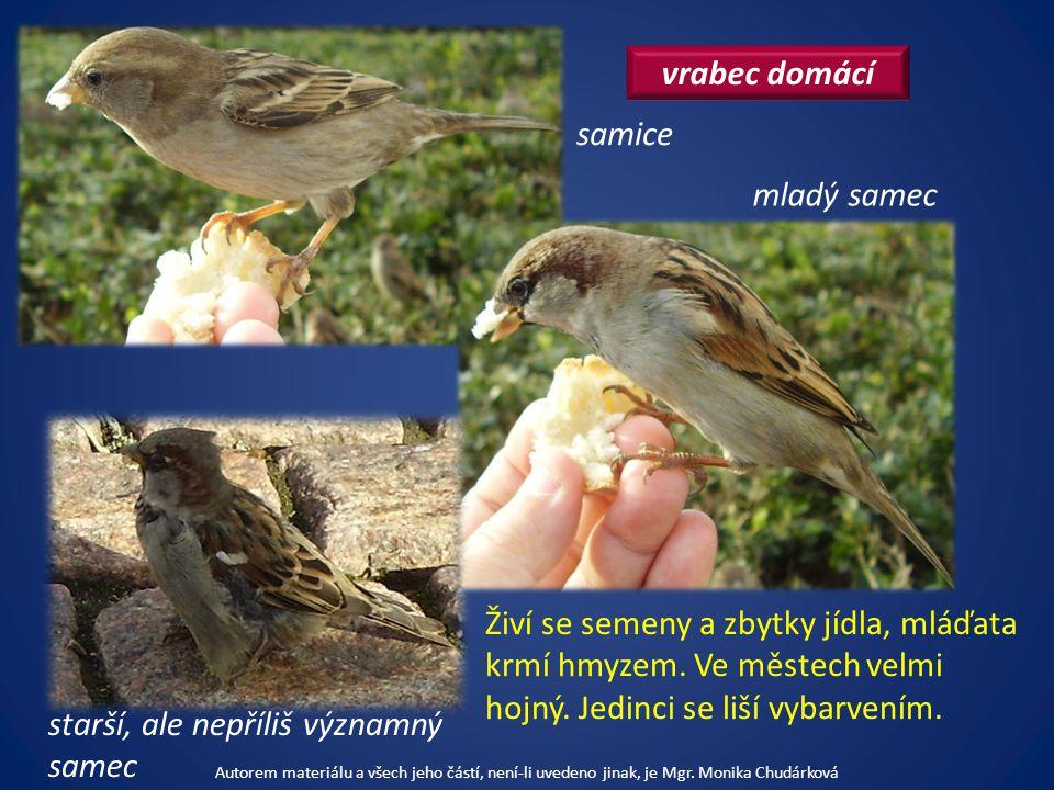 vrabec domácí Živí se semeny a zbytky jídla, mláďata krmí hmyzem.