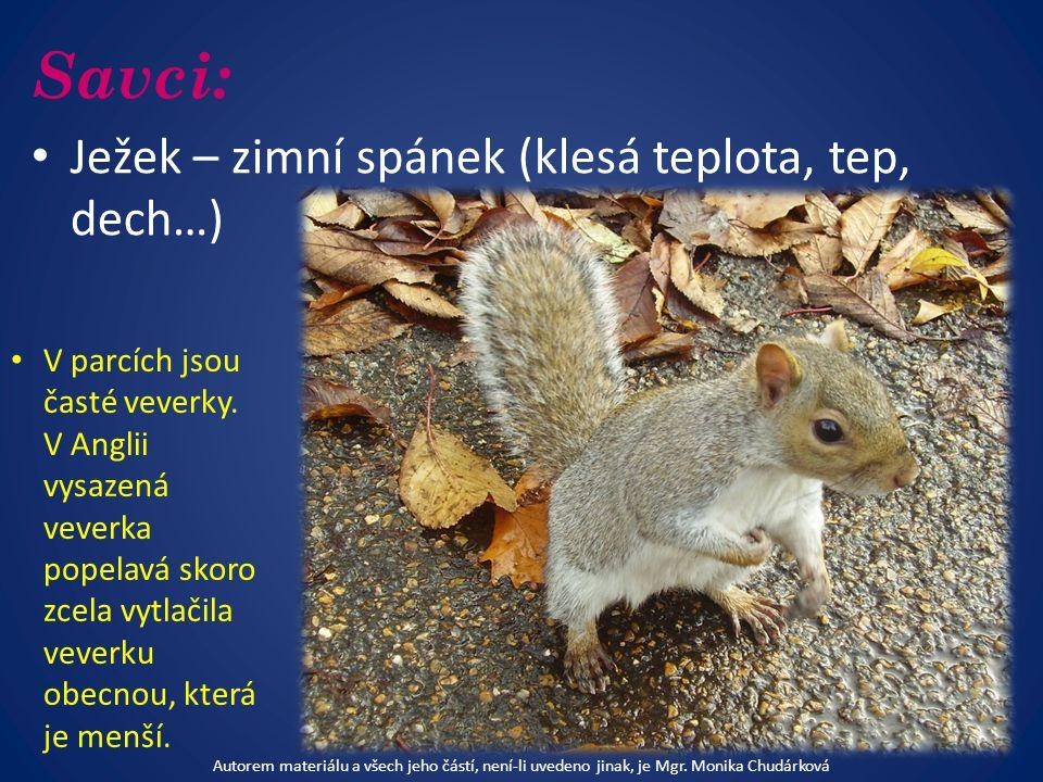 Savci: Ježek – zimní spánek (klesá teplota, tep, dech…) V parcích jsou časté veverky.