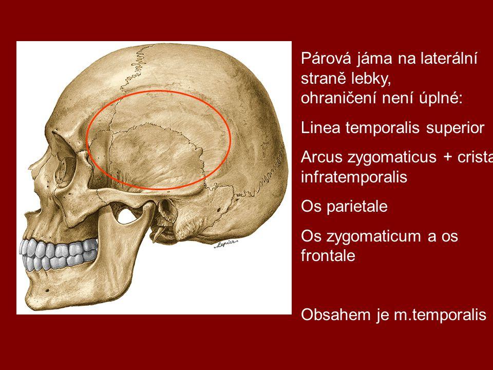 Párová jáma na laterální straně lebky, ohraničení není úplné: Linea temporalis superior Arcus zygomaticus + crista infratemporalis Os parietale Os zyg