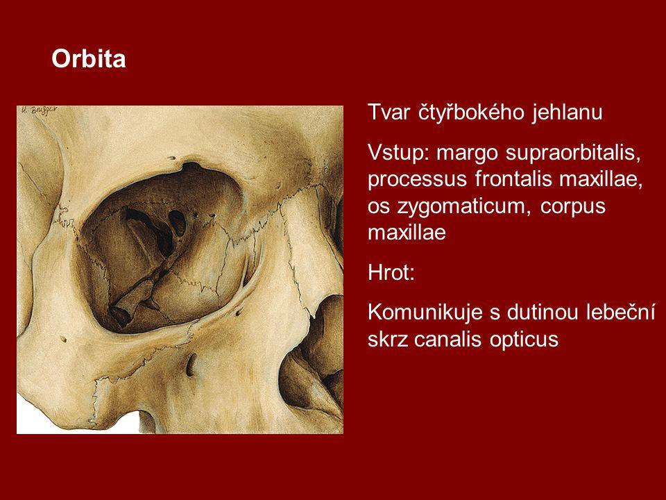Orbita Tvar čtyřbokého jehlanu Vstup: margo supraorbitalis, processus frontalis maxillae, os zygomaticum, corpus maxillae Hrot: Komunikuje s dutinou l